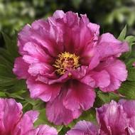Пион ITOH Morning Lilac /1 шт/