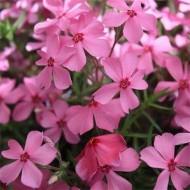 Флокс Early Spring Dark Pink /1 шт/