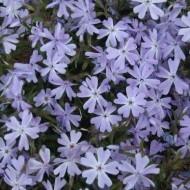 Флокс Early Spring Lavender /1 шт/