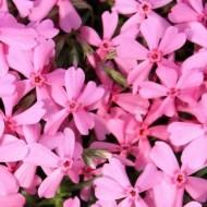 Флокс Early Spring Light Pink /1 шт/