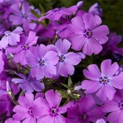 Флокс Early Spring Purple /1 шт/