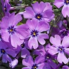 Флокс Purple Beauty /1 шт/