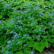 Бруннера Macrophylla /1 шт/