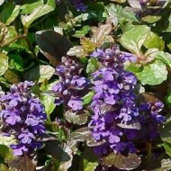 Аюга Purple Brocade /1 шт/