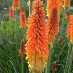 Книфофия Uvaria Grandiflora /1 шт/
