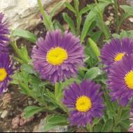 Астра Alpinus Violet /1 шт/