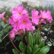 Примула Rosea Grandiflora /1 шт/