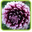 Георгина крупноцветковая
