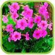 Инкарвилея (садовая глоксиния)