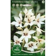 Ацидонтера Gladiolus Callianthus /15 клубнелуковиц/ *Florex*