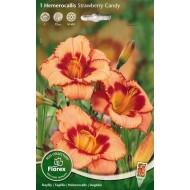 Лилейник (хемерокалис) Strawberry Candy /1 корневище/ *Florex*