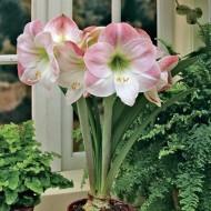 Амариллис Apple Blossom /1 луковица/ *Голландия*