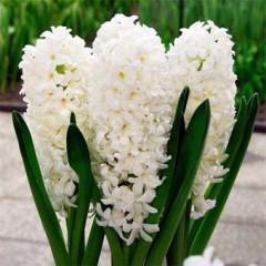 Гиацинт White Pearl /2 луковицы/ *Голландия*