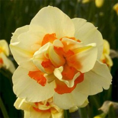 Нарцисс Flower Parade /3 луковицы/ *Голландия*