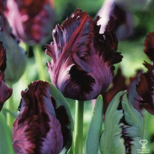 8a487a9577d0 Купить луковицы тюльпана Black Parrot  3 шт  в магазине ЛУКОВИЦЫ-ПОЧТОЙ