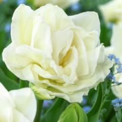 Тюльпан Global Desire /3 шт/
