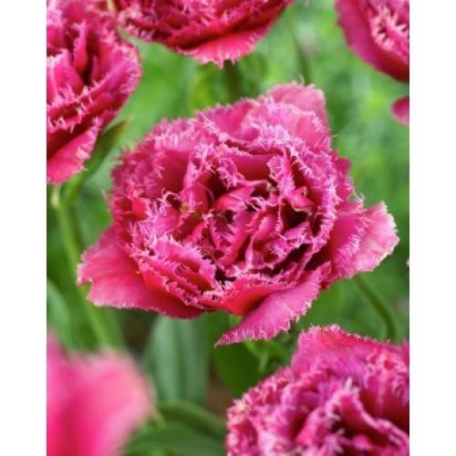35566e05ec40 Купить луковицы тюльпана Mascotte  2 шт  в магазине ЛУКОВИЦЫ-ПОЧТОЙ