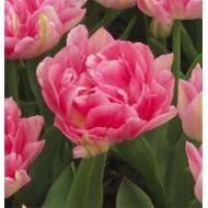 Тюльпан Peach Blossom /3 шт/