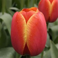 Тюльпан Ad Rem /3 луковицы/ *Голландия*