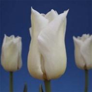 Тюльпан Agrass White /3 луковицы/ *Голландия*