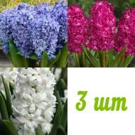 Гиацинт Махровый Микс /3 шт/